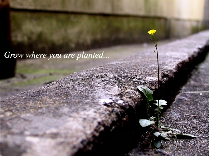 Grow where you are planted saying typographic flower in cement life quote meaning