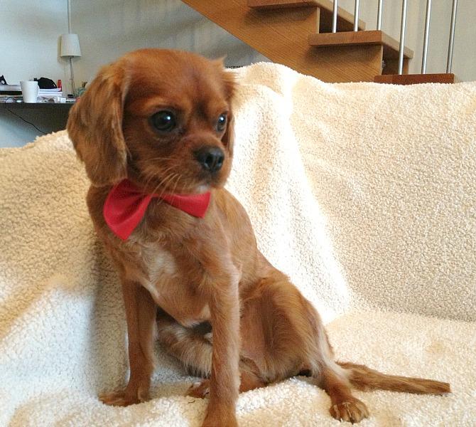Ollie Cavoodle Dog Pet Photo