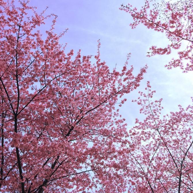 Cherry Blossom Spring New York Central Park